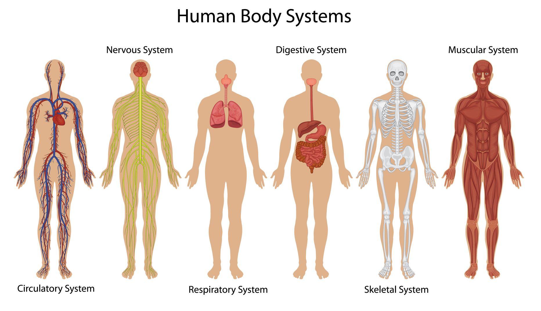 Body Systems Test Ib Biology Sl